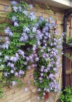 Clematis Wesselton
